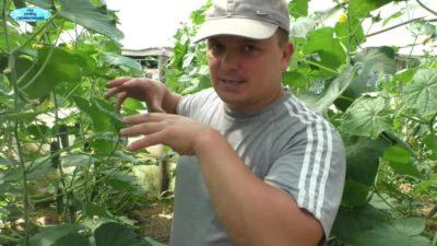 удобрение огурцов в период плодоношения