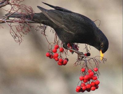 клубнику клюют птицы что делать