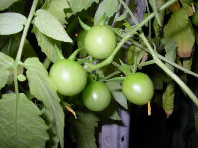 помидорная ботва от вредителей