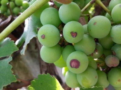 гниет виноград что делать