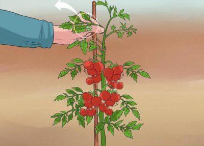 как обрезать помидоры в открытом грунте