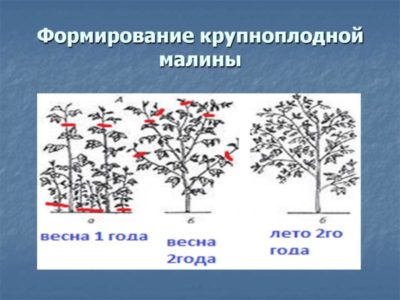 как посадить малину осенью