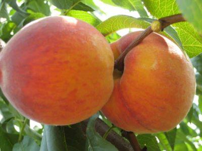 сорт персика инка