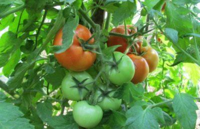 сорта томатов для нижегородской области