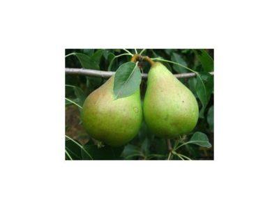 удобрение груши осенью
