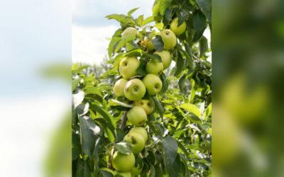 колоновидные яблони посадка и уход