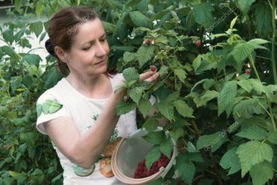 полив малины летом