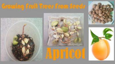 как посадить косточку персика
