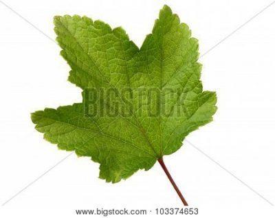 когда собирать и как сушить листья смородины