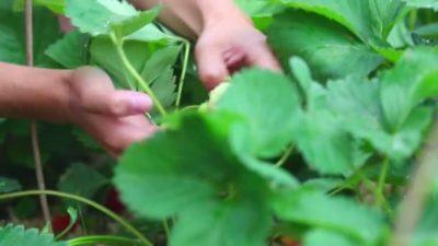 как обрезать клубнику после сбора урожая