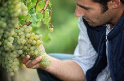 как опыляется виноград