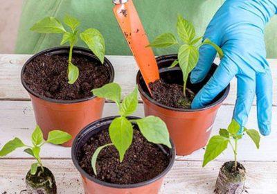 чем подкармливать рассаду помидор и перцев после пикировки