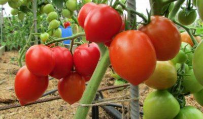 высокоурожайные сорта томатов для открытого грунта