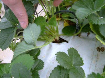 как поливать клубнику под укрывным материалом