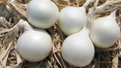 белый лук отличие от обычного