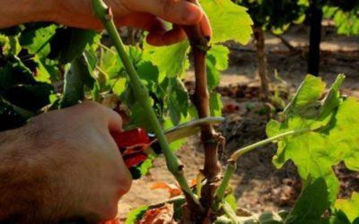 удобрения для винограда осенью