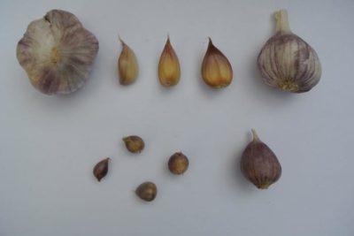 как собрать семена чеснока