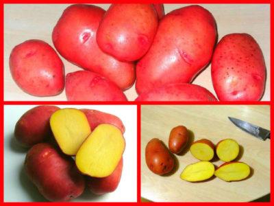 сорт картофеля рамос