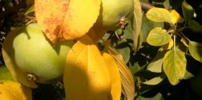 желтеют листья на вишне что делать