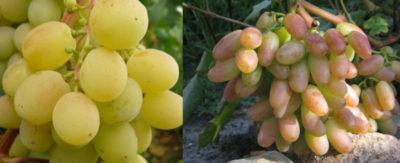 сорт винограда новочеркасский