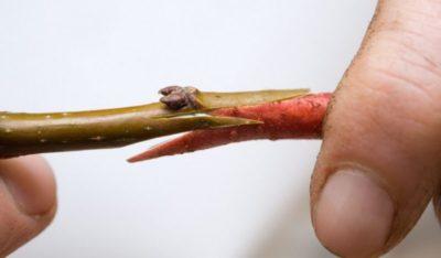 прививка яблонь в августе