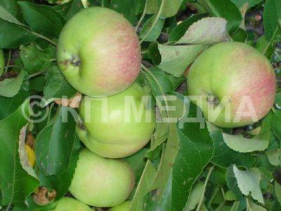 до какой температуры можно хранить яблоки на балконе
