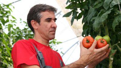 как в жару поливать помидоры