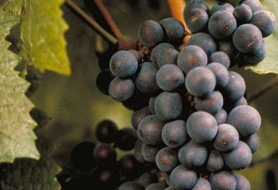 сорт винограда шираз
