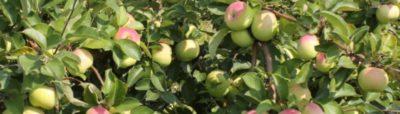 колоновидная яблоня валюта описание сорта