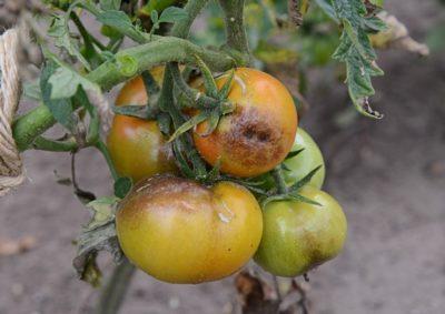 вершинная гниль на помидорах что делать