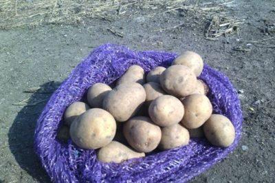 сорт картофеля вега