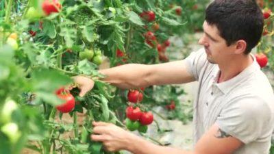 надо ли поливать помидоры в августе в теплице