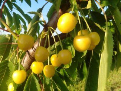 черешня желтая сорта
