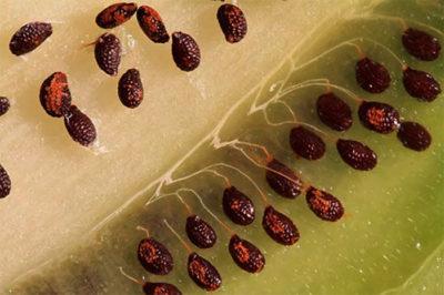 стратификация семян жимолости