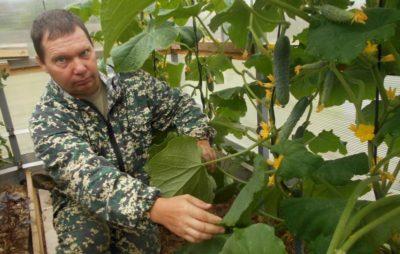 как обрезать огурцы в теплице чтобы был хороший урожай