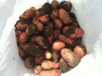 картофель ред скарлет описание сорта