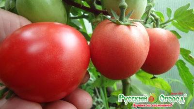 сорта томатов для юга россии