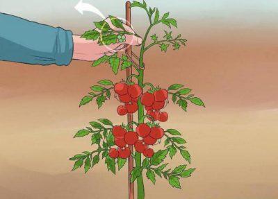можно ли обрезать верхушки у помидор