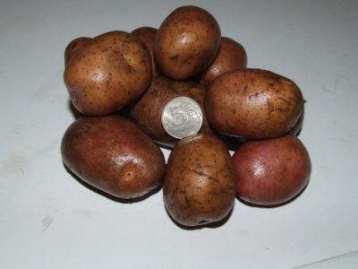 сорт картофеля рябинушка