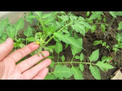 как сажать капусту в открытый грунт рассадой