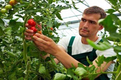 уход за помидорами в июле в теплице