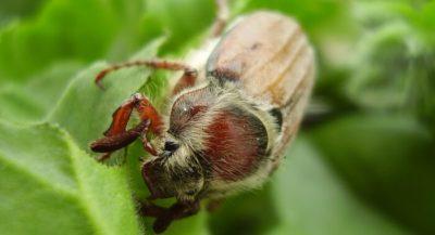 как бороться с личинками майского жука на огороде
