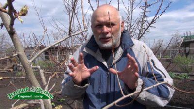 борьба с галловым клещом на груше