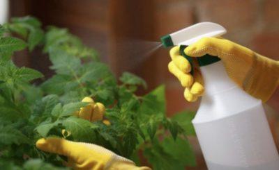 чем поливать помидоры во время цветения