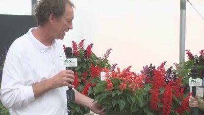 сальвия когда сажать на рассаду
