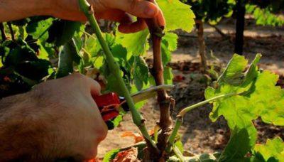 уход за виноградом летом обрезка
