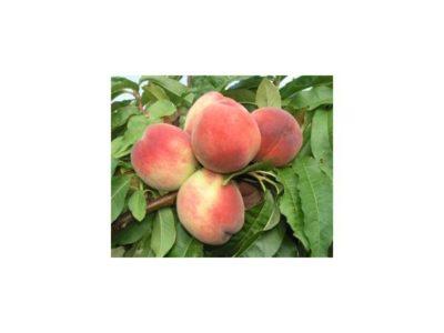 чем опрыскивать персик от курчавости листьев