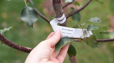 как обрезать саженец яблони