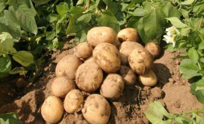 уход за картофелем после всходов
