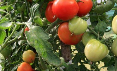 пасынкование помидоров в открытом грунте
